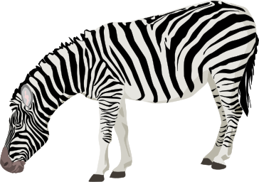 A zebra leaning down towards the ground